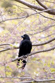 「市の鳥 からす」の画像
